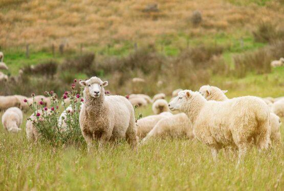 Curiosidades del queso de oveja